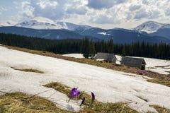 打破雪的奇妙开花的第一朵番红花特写镜头  牧羊人小屋和强大山的被弄脏的图象被盖的 免版税库存图片