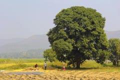 打谷在稻田,轻率冒险, Sonapur村庄的农夫米,在Panshet附近 免版税库存照片