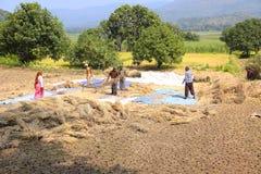 打谷在稻田, Sonapur村庄的农夫米,在Panshet附近 免版税库存图片