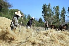 打谷被收获的五谷的埃赛俄比亚的人 免版税图库摄影