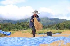 打谷2014年11月8日的米在Lampang,泰国 免版税库存照片