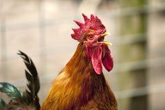打鸣的橙色雄鸡 免版税图库摄影