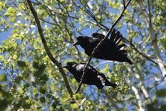 打鸣结构树 两只乌鸦丈夫和妻子 免版税库存照片