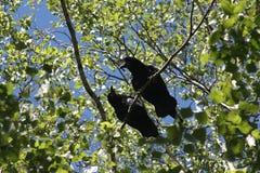 打鸣结构树 在分支的两只乌鸦 免版税库存照片