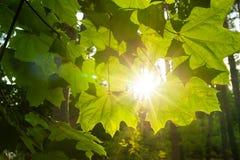 打破云彩的光束和打开槭树叶子 库存照片