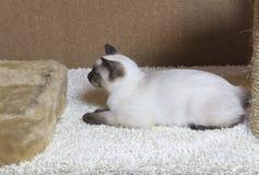 打滑暹罗类型湄公河短尾头发的小猫,无尾部 图库摄影