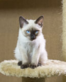 打滑暹罗类型湄公河短尾头发的小猫  免版税图库摄影