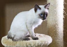 打滑暹罗类型湄公河短尾头发的小猫  免版税库存图片