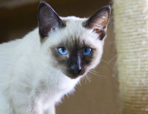 打滑暹罗类型湄公河短尾头发的小猫  图库摄影