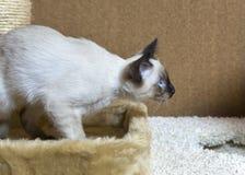 打滑暹罗类型湄公河短尾头发的小猫  库存图片