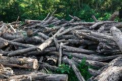 打破的下落的老树谎言在夏天森林里,生态砍伐森林概念 免版税库存图片