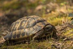 托尔蒂岛Mediterranea,陆龟Hermanni 免版税库存图片
