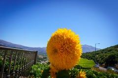 托斯卡纳向日葵 库存图片