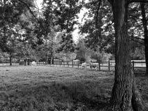 从托斯卡纳的Chianina母牛在小牧场 免版税库存图片