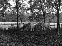从托斯卡纳的Chianina母牛在小牧场 库存图片