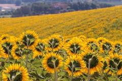 托斯卡纳风景用向日葵 库存图片