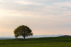托斯卡纳风景,与一棵被隔绝的树在一个绿色草甸, bene 图库摄影