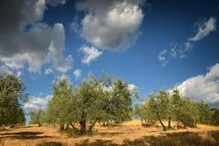 托斯坎农村横向 与蓝色多云天空的美丽的橄榄树 夏季,托斯卡纳 免版税库存照片