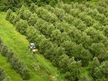 托斯坎橄榄树小树林02 免版税库存照片