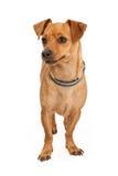 托比-奇瓦瓦狗混合1313 库存图片