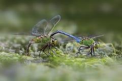 扣紧在她的头后的公绿色更加织补的蜻蜓一位女性 免版税库存照片