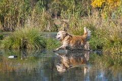 执行水的金毛猎犬检索 免版税库存图片