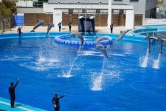 执行海豚和培训人。 巴伦西亚公园 免版税库存照片