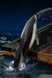 执行海豚窍门 免版税库存图片