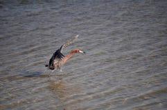 执行狩猎舞蹈的带红色白鹭 库存图片