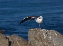 执行瑜伽锻炼的海鸥 免版税图库摄影