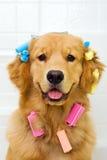 执行获得金黄头发他的猎犬 免版税库存图片