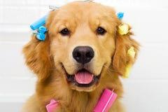 执行获得金黄头发他的猎犬 图库摄影