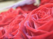 扩大化玫瑰 免版税库存照片
