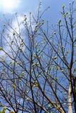 扩展和大树枝开花的叶子  免版税图库摄影