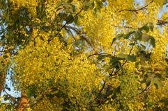 扫黄色花在Prajinburi泰国 免版税库存图片
