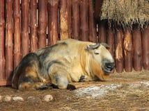 扭角羚与崽的羚牛属taxicolor 库存图片