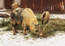 扭角羚也称牛羚羊或牛羚山羊 库存照片