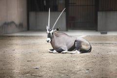 扭角羚动物园 免版税图库摄影