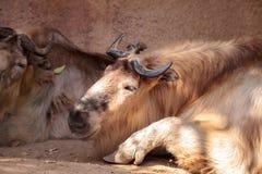 扭角羚叫的Budorcas taxicolor是羊亚科 免版税图库摄影