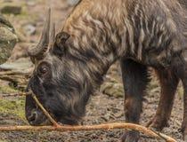 扭角羚在动物园Decin镇 免版税库存照片