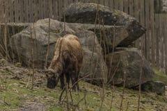 扭角羚在动物园Decin镇 库存图片