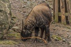 扭角羚在动物园Decin镇 免版税图库摄影