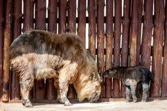 扭角羚家庭:母亲和孩子 免版税库存图片