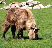 扭角羚或羚牛属Taxicolor 库存图片
