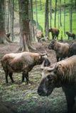 扭角羚,不丹的全国动物,在Motithang微型动物园里 库存图片