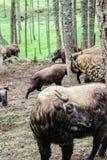 扭角羚,不丹的全国动物,在Motithang微型动物园里 免版税库存图片