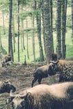扭角羚,不丹的全国动物,在Motithang微型动物园里 免版税库存照片