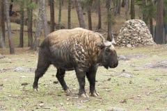 扭角羚,不丹的全国动物 免版税库存图片
