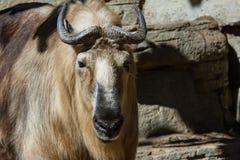 扭角羚-羚牛属taxicolor tibetana 库存照片