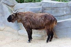 扭角羚 免版税图库摄影